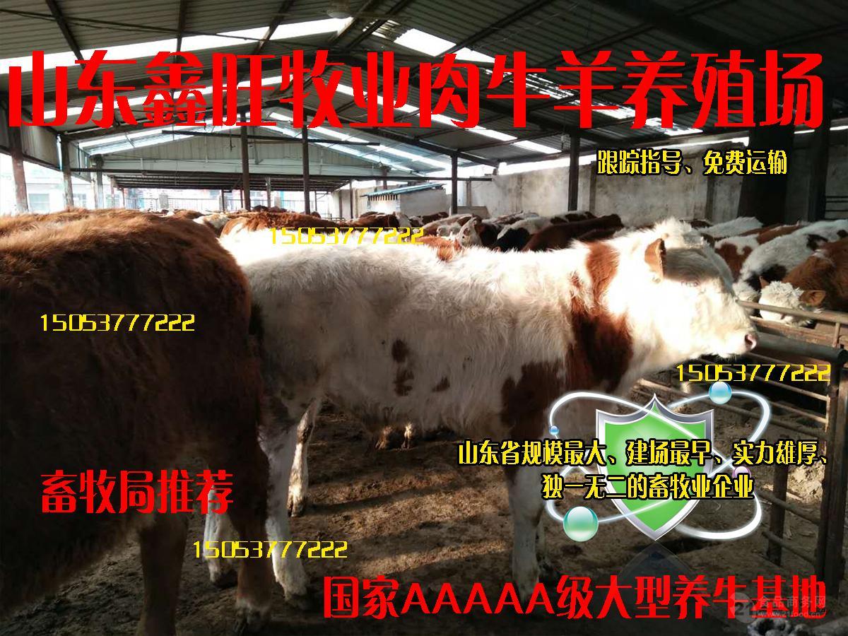 普通小肉牛价格卖肉牛苗