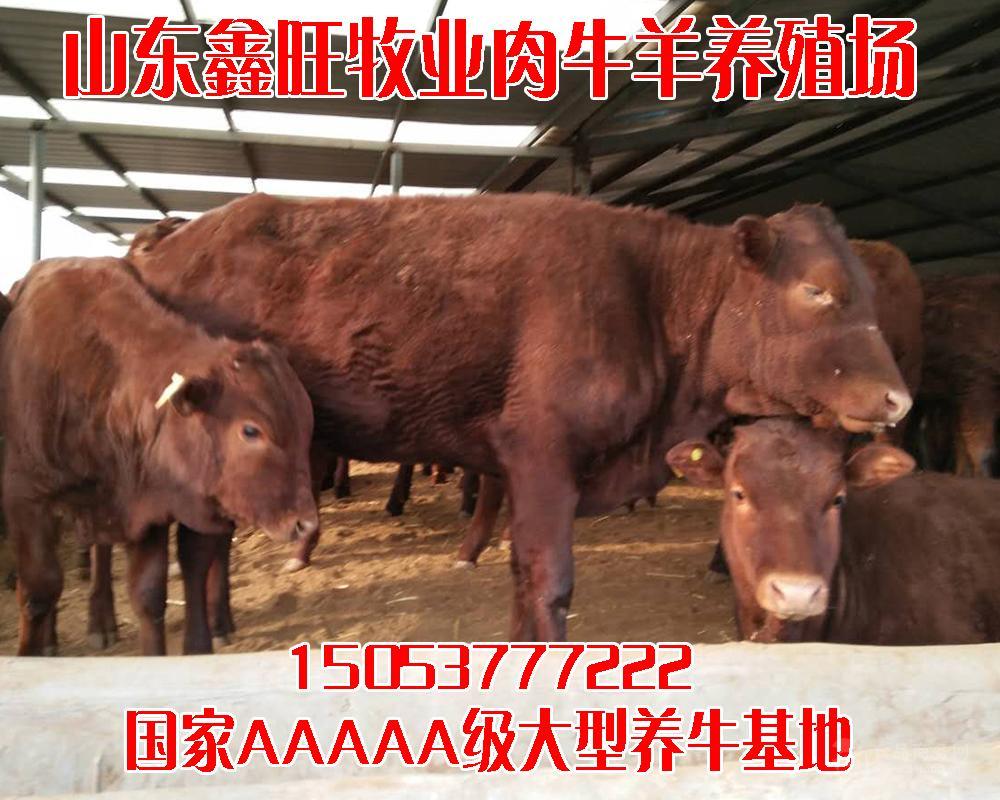 肉牛价格走势种牛价格