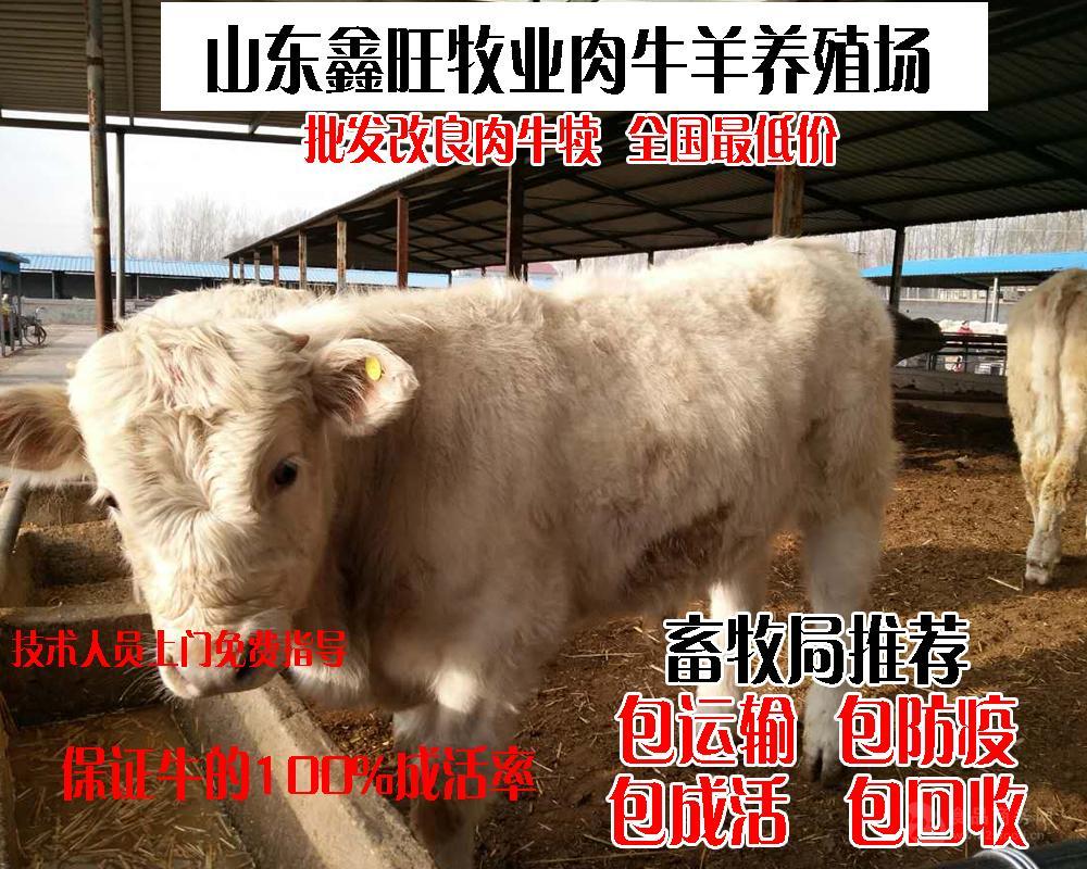 西门达尔牛要养多久纯种海福特牛