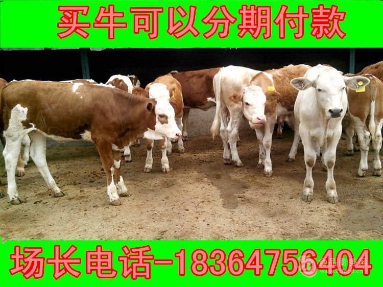 江苏出售的怀孕牛价格圈养牛