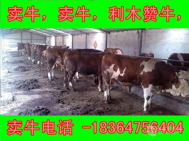 江西西门塔尔牛种牛多钱生态养牛