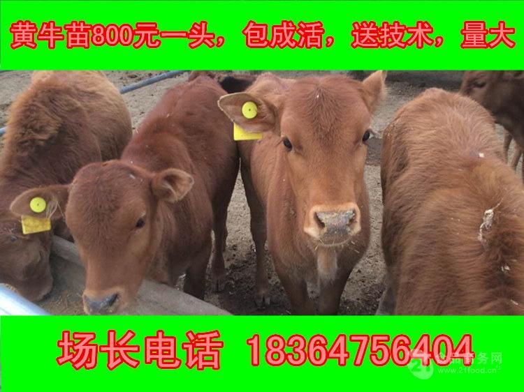 信阳西门塔尔牛成年牛价格圈养牛
