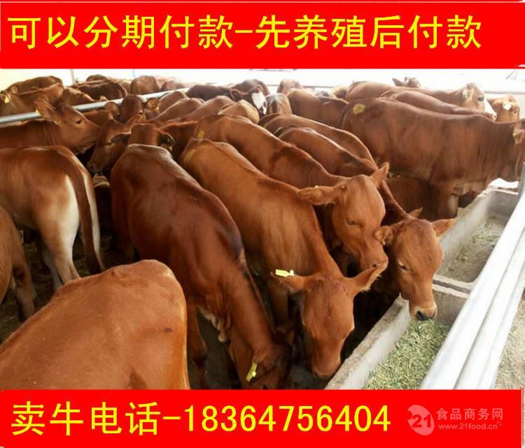 重庆种牛多钱科学养牛