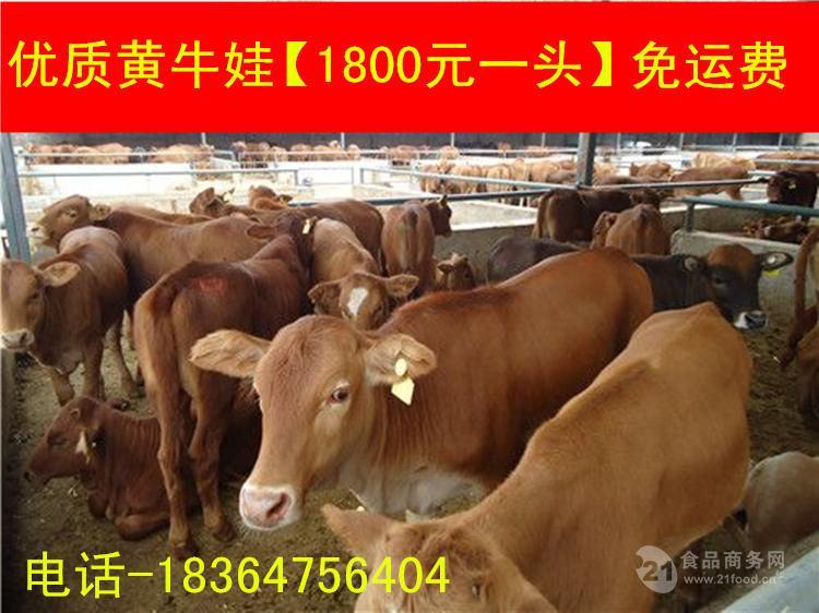 重庆种牛价格多少生态养牛
