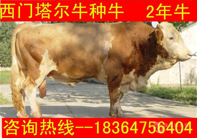 陕西架子牛小牛生态养牛