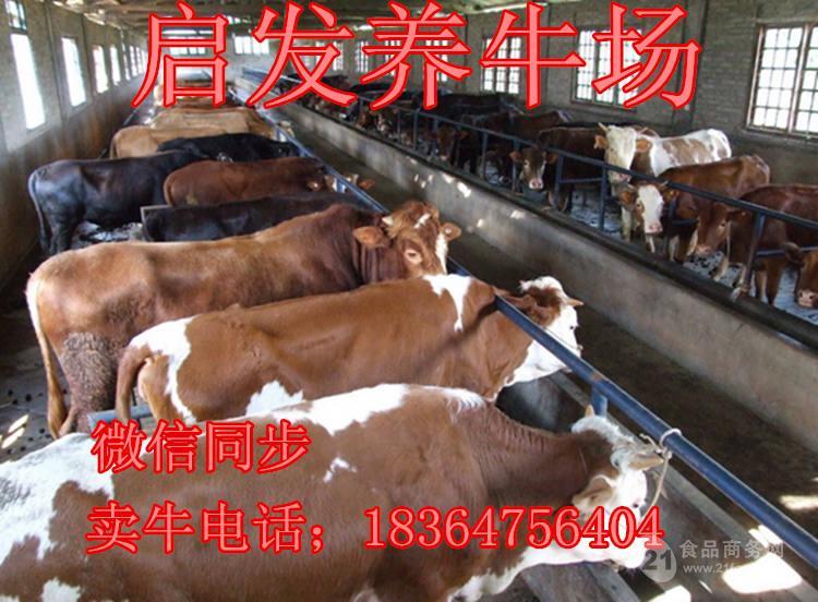 浙江活牛价格圈养牛