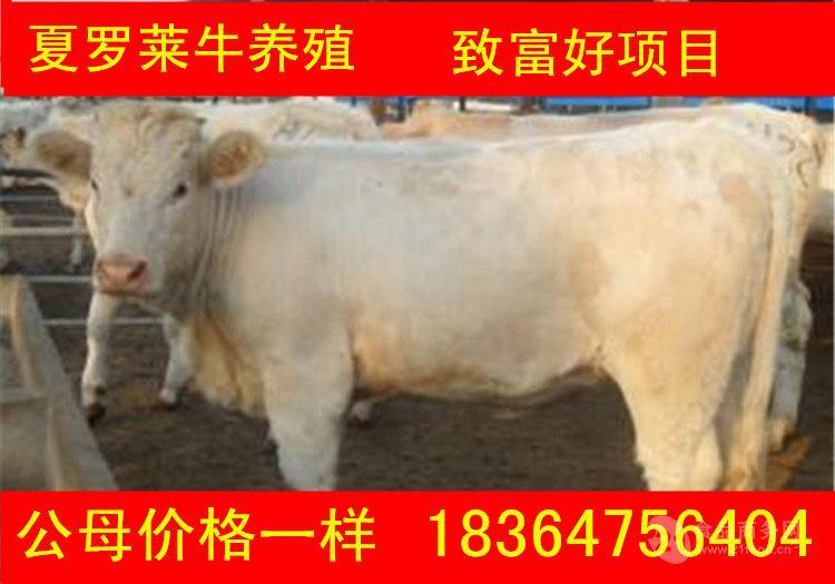 甘肃出售的黄牛价格多少生态养牛