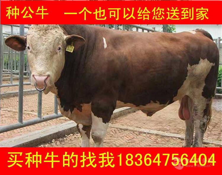 甘肃牛生态养牛