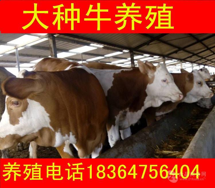 湖南出售的牛仔价格生态养牛