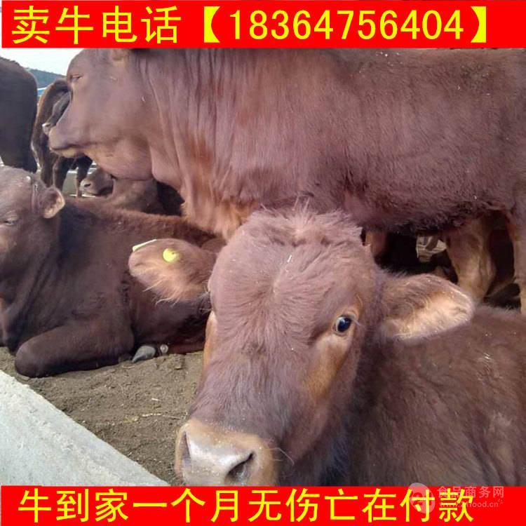 重庆种牛生态养牛