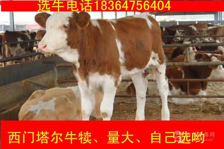 信阳西门塔尔牛成年牛 价格圈养牛
