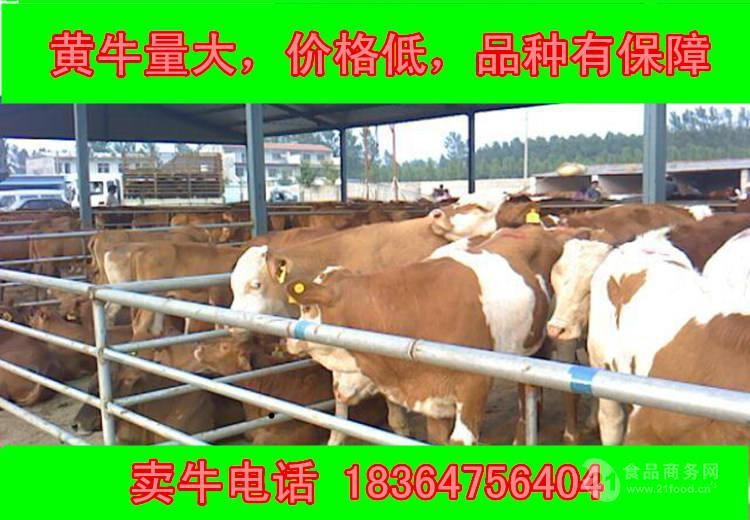 甘肃牛多钱圈养牛