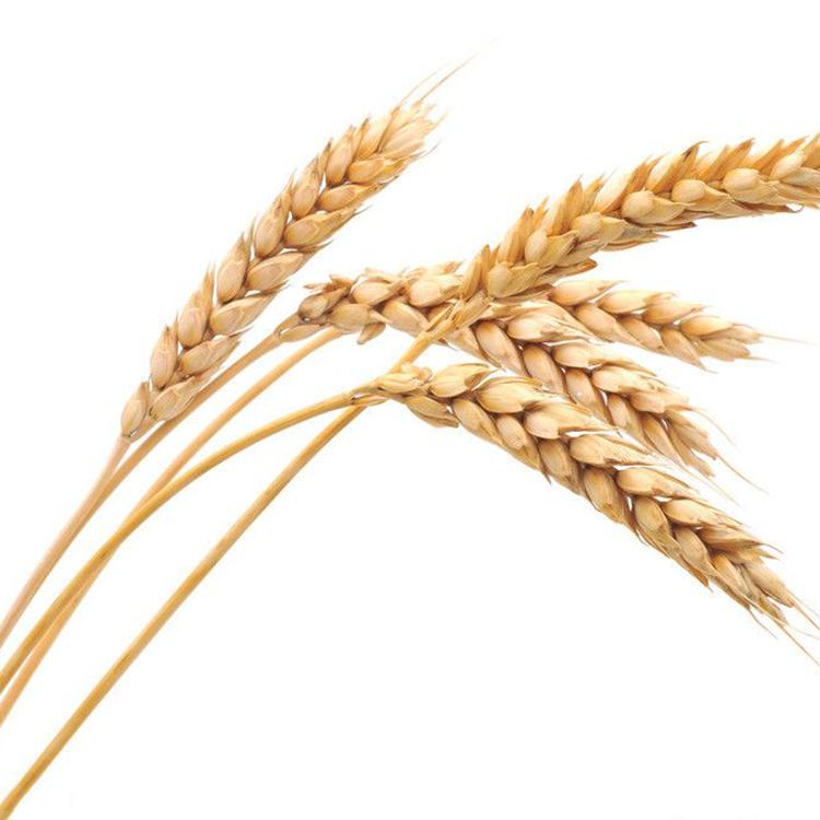 农道 散装有机小麦 25公斤/袋 厂家直销