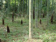 零污染地方特产竹笋供应
