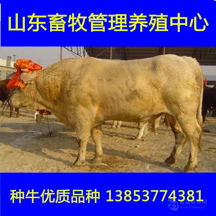 市场黄牛犊的价格小肉牛多少钱一头