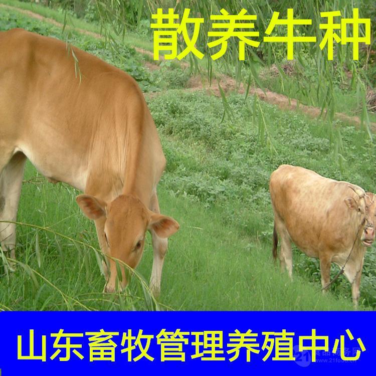 专业改良肉牛犊厂家良种补贴