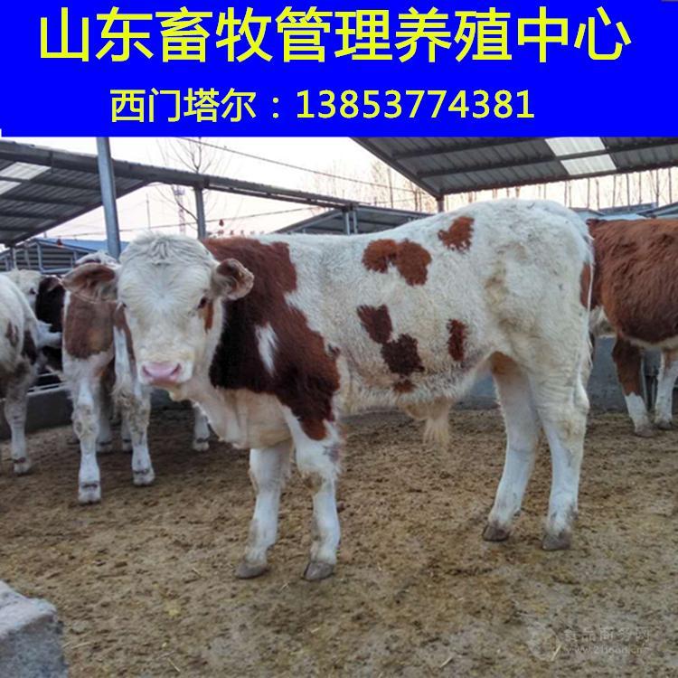 优质鲁西黄牛价格
