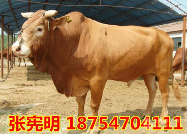 肉牛苗多少钱一头$肉牛牛犊多少钱一头
