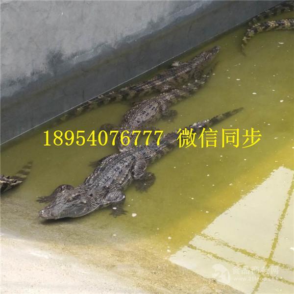 养殖100条鳄鱼要多少钱