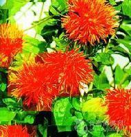 厂家现货供应 红花提取物 4%红花甙 质量保证欢迎订购