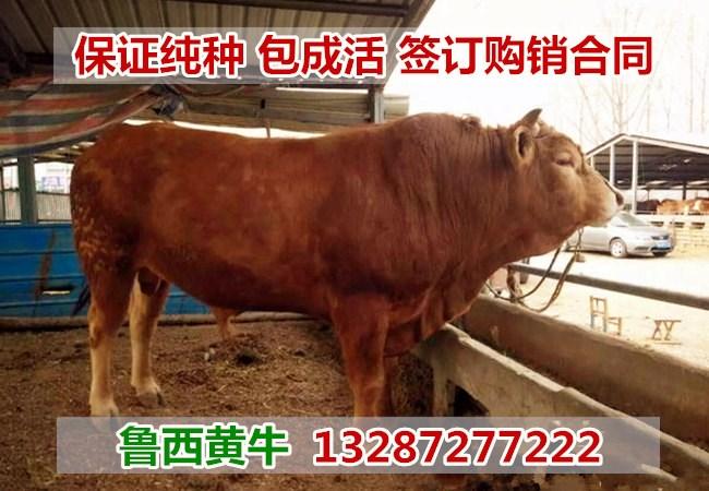 山东鲁西黄牛犊价格Q山西