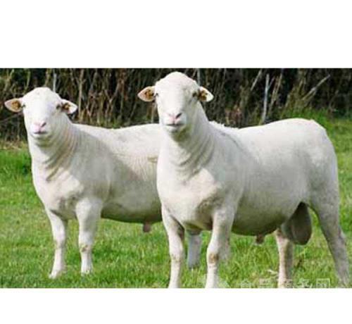 2018年杜泊绵羊价格多少钱一只