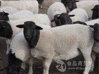 常年供应杜泊羊 黑头杜泊羊价格