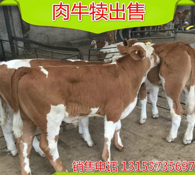 哪儿有卖小牛的 在牛自然采食的饲料中,可能含有一些物质,影响牛的初情期和经产牛的再发情。哪儿有卖小牛的如存在于豆科牧草(如三叶草)中的植物雌激素,就可能影响牛的发情特征。哪儿有卖小牛的我国传统上在早春季节利用某些植物给动物催情,即是利用植物雌激素的例证。 长期采食三叶草后,母牛流产率增高,处女牛乳房及乳头发达。而北美疯草据认为含雌激素样物质及其它毒素,可以影响精子和卵子生成。实验研究表明,某些植物存在的类雌激素物质,可抑制牛卵泡发育和成熟,导致牛繁殖力的改变。 养牛行情价格9月29日,公室举行以来农业农