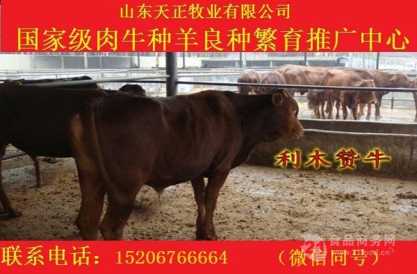 利木赞牛价格 利木赞牛犊价格 肉牛犊价格 免费运输