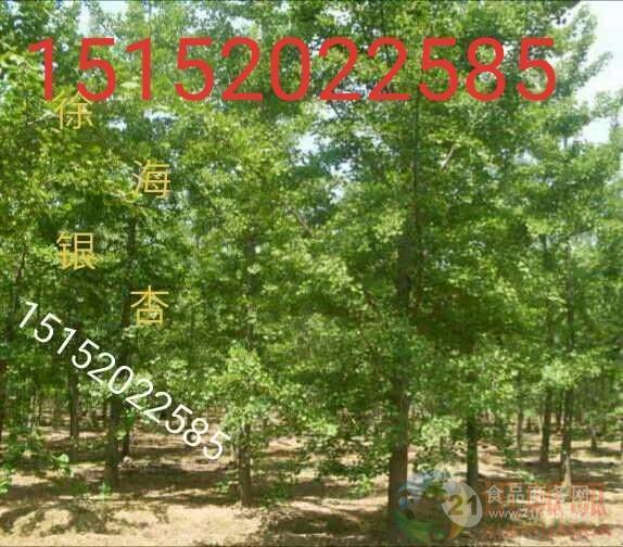 18公分银杏树价格