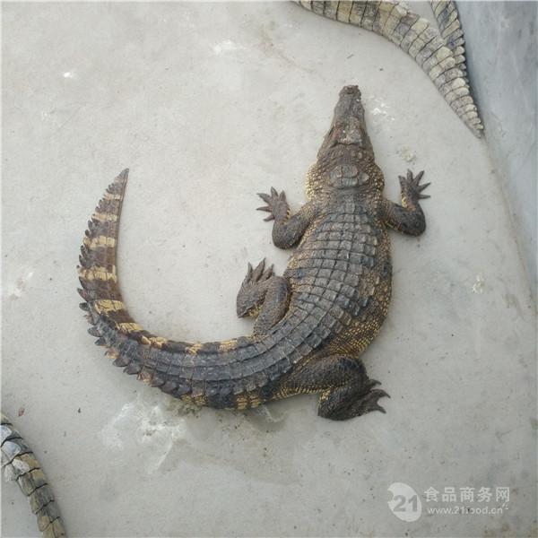 浙江东阳市中型鳄鱼批发价格