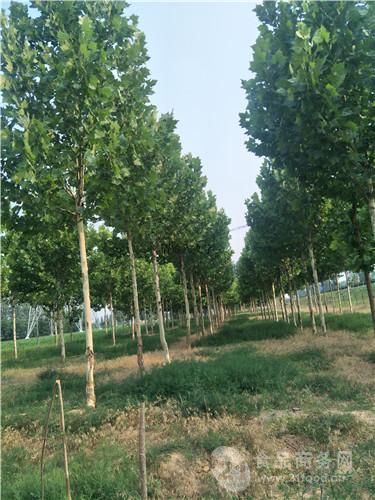 20公分法桐价格优质苗木