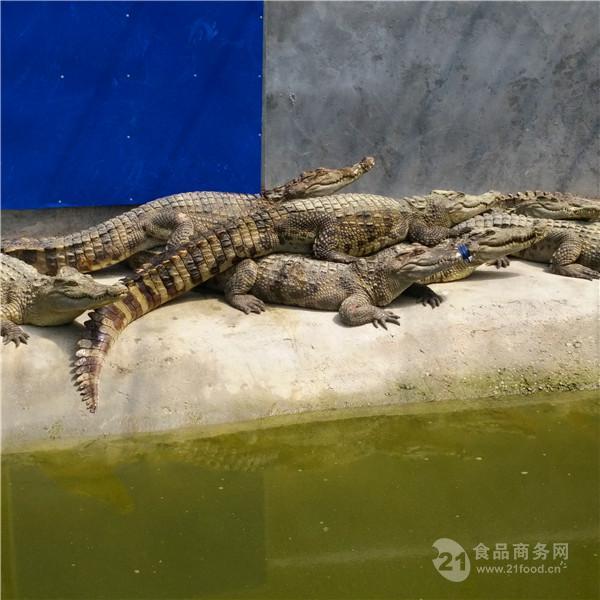 安徽宁国市鳄鱼养殖场