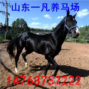 骑乘马的市场行情