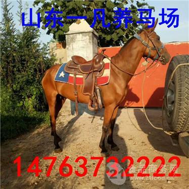 适合游客骑乘的马多少钱一匹
