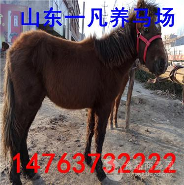 山东正规的德保矮马养殖场购买马匹价