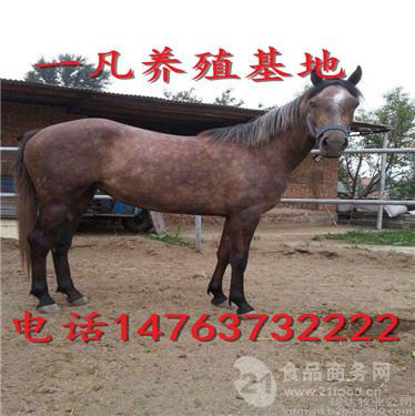 南宁市蒙古马多少钱一匹 出售骑乘马