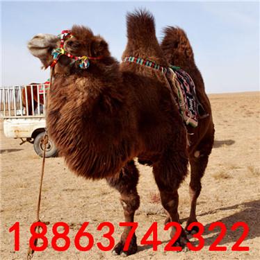 其他未分类 骆驼多少钱一头  山东风祥大型养殖基地常年出售各种动物