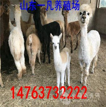 陕西榆林一亩草地可以放养多少头羊驼