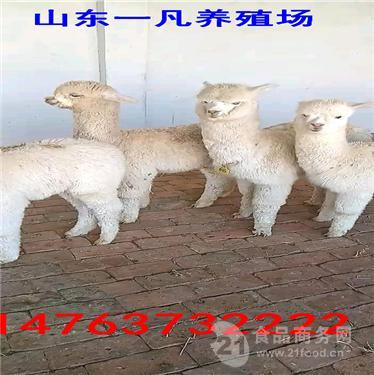 景区需要什么样的小羊驼供供游客观赏
