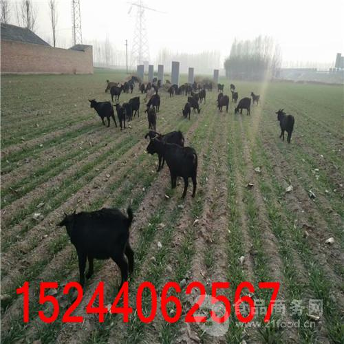 国内黑山羊品种