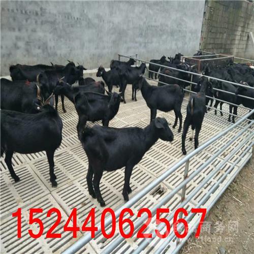 全国黑山羊品种