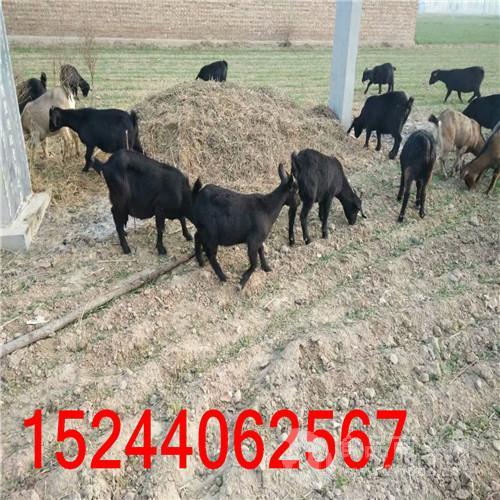 沧山黑山羊养殖基地