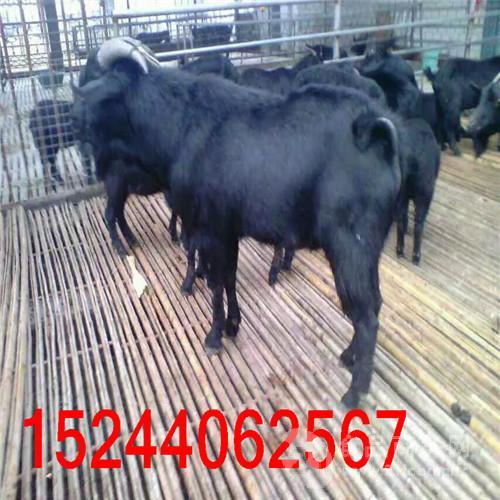 沧山黑山羊养殖场