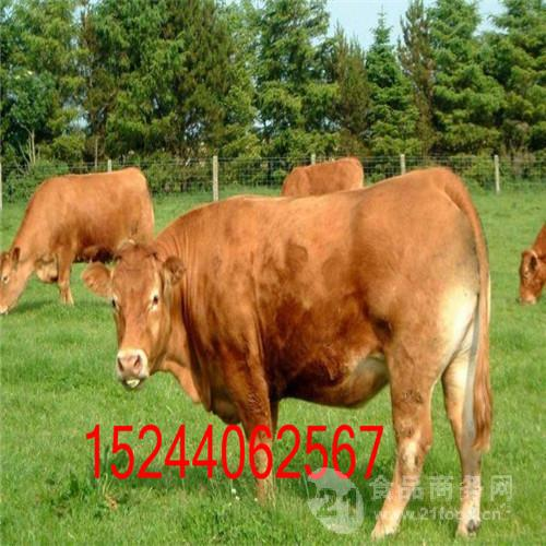山东养牛基地可靠吗