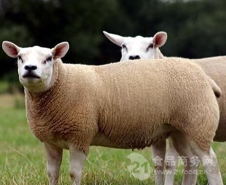 杜泊种羊多少钱一只 杜泊绵羊价格
