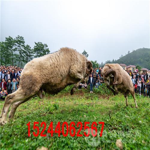 哪里有卖斗羊的