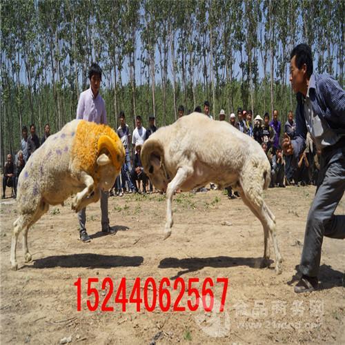 山东斗羊出售价格