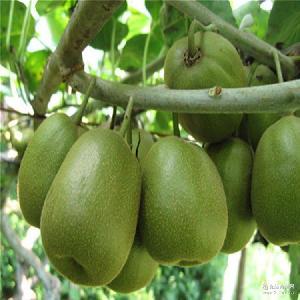 奇异果红心猕猴桃雅安猕猴桃独立礼盒包装园林基地现摘大果100g