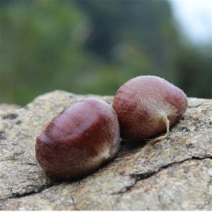 预售野生老树板栗 5斤包邮 坚果特产 生栗子新鲜毛栗